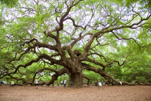 Angel Oak Tree image